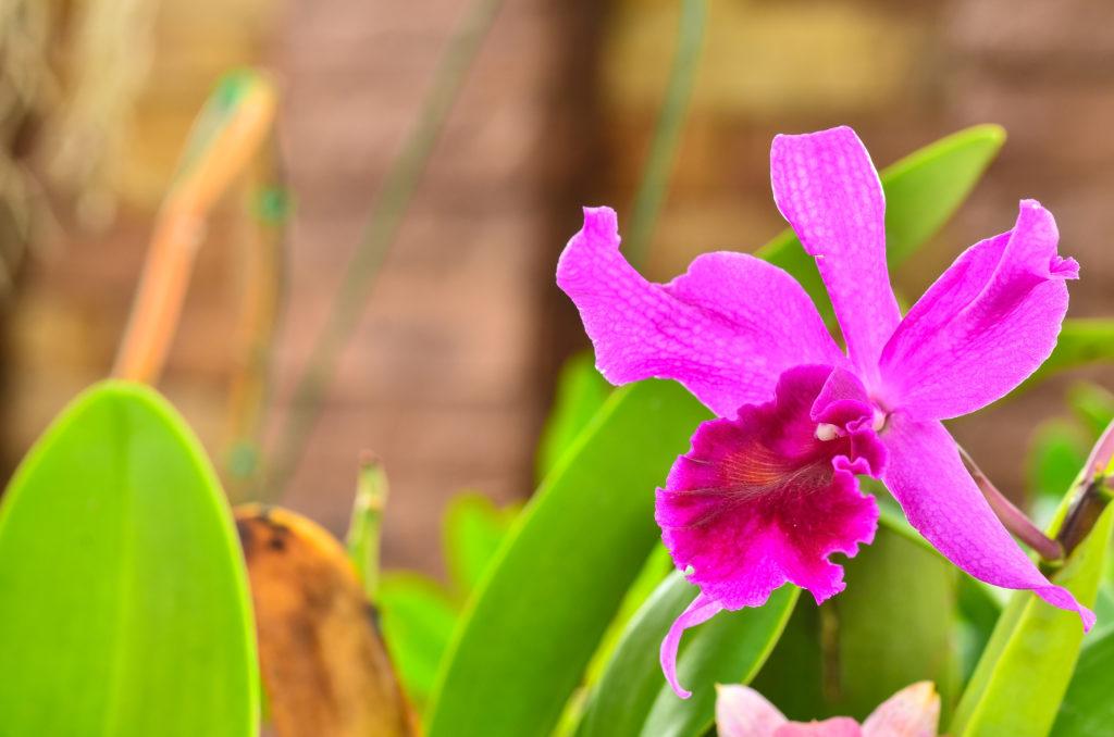 Brazil - Cattleya Orchid