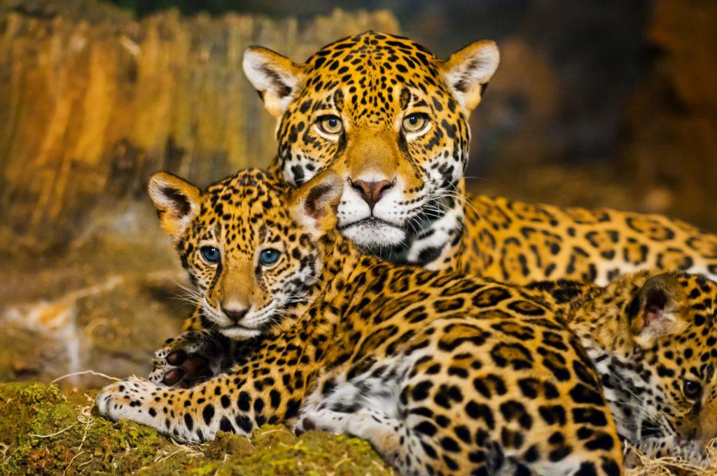 Brazil - jaguar