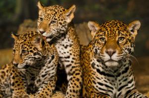 Mexico - jaguar