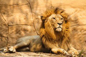 kenya-lion