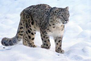 afghanistan snow leopard