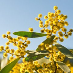Australia- Golden Wattle