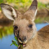 Australia - red kangaroo