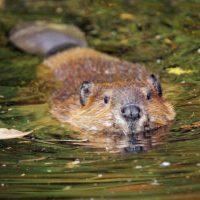Canada - beaver