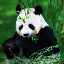China - Giant Panda