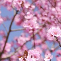 China- Plum Blossom