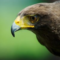 Egypt - Steppe Eagle