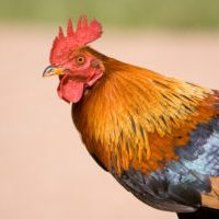 France - Gallic Rooster