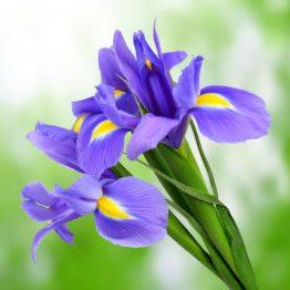 France - Iris