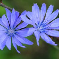 Germany - cornflower