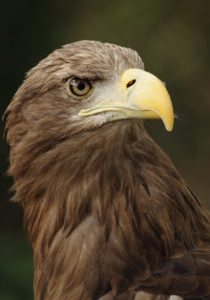 Germany - eagle
