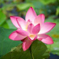 India - Lotus