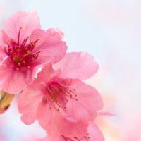 Japan - Sakura (Cherry Blossom)
