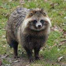 Japan - Tanuki (Racoon Dog)