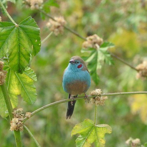 Red Cheeked Cordon-Bleu Finch