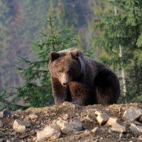 Russia - bear