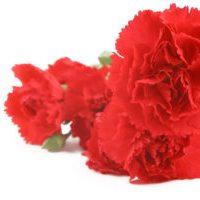 Spain - Carnation