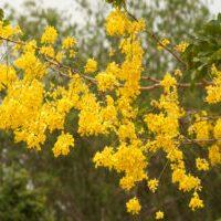Thailand - Golden Shower Tree