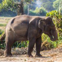 Thailand - Thai elephant
