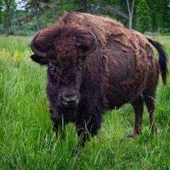 U.S. - bison