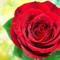 United States - Rose