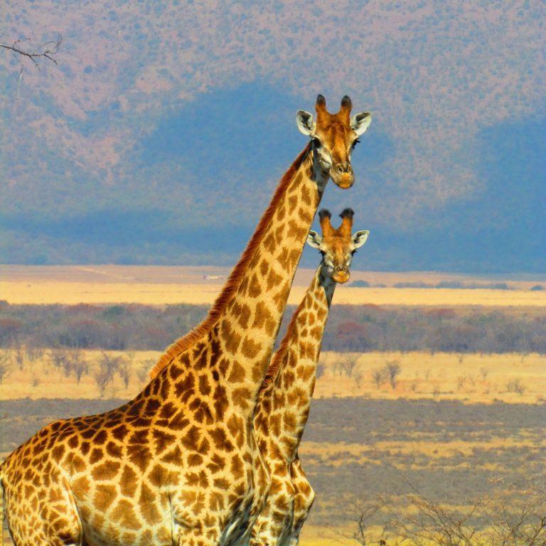 giraffes-382399_1920