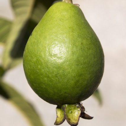 guava-1606514_640