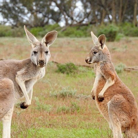 kangaroos-1563624_640