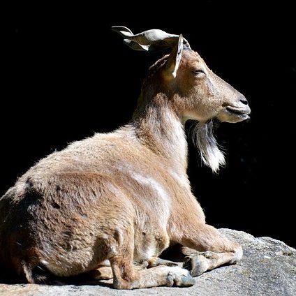 markhor (wild goat)