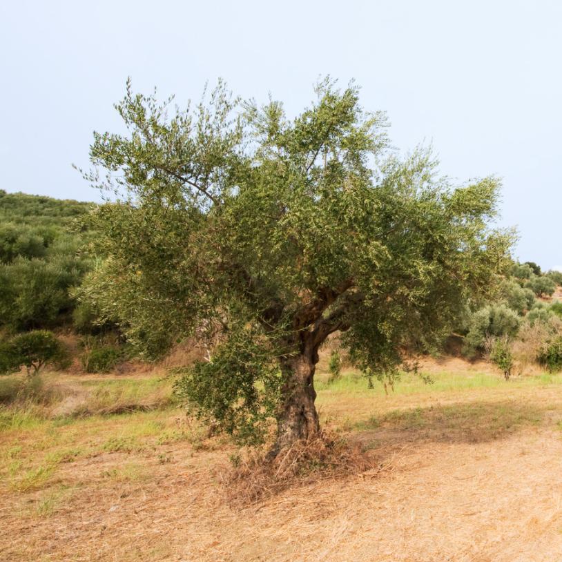 olive-tree-greece